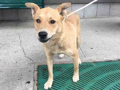 Brooklyn center CHIQUIS – A1080341 FEMALE, TAN, ALASKAN HUSKY / AM PIT BULL TER, 5 yrs OWNER SUR – EVALUATE, NO HOLD Reason PERS PROB Intake condition EXAM REQ Intake Date 07/07/2016, From NY 11220, DueOut Date 07/07/2016, I came in with Group/Litter #K16-064514