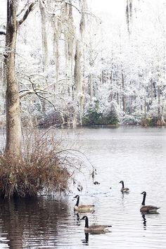 Snow on Spanish Moss, Wilmington, NC