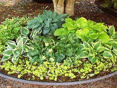 Art A shade garden using an old satellite dish as a container. At the UGA Research Garden in Griffin Georgia container-gardening Hosta Plants, Patio Plants, Shade Plants, Hosta Gardens, Satellite Dish, Low Light Plants, Shade Flowers, Patio Makeover, Garden Theme