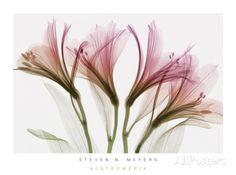 Alstroemeria bloemen Schilderij van Steven N. Meyers bij AllPosters.nl