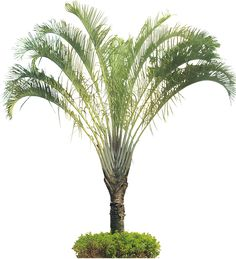 Tropical Plant Pictures: Dypsis decaryi (Triangle Palm)