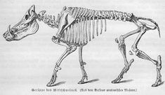 Shop for antique on Etsy, the place to express your creativity through the buying and selling of handmade and vintage goods. Skeleton Anatomy, Animal Anatomy, Fox Tattoo, Wild Boar, Anatomy Reference, Antique Prints, Rare Antique, Mammals, Moose Art