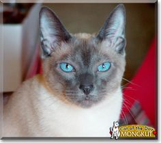 Read Mongkut the Blue Point Siamese's story from Goshen, Kentucky and see his photos at Cat of the Day http://CatoftheDay.com/archive/2011/July/18.html .