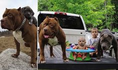 Puppies of the world's largest pitbull train to become guard dogs