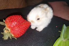 The berry's bigger than the bunny!