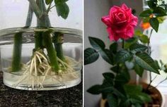 How to root a rose from a bouquet. Use natural stimulants for root formation! - The World of Plants Balcony Garden, Indoor Garden, Garden Plants, Indoor Plants, Plant Cuttings, Growing Roses, Garden Care, Ikebana, Houseplants