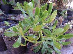 PLANTAS MORENAL: CRASAS Cactus, Flowers, Garden, Bonsai, Plants, Echeveria