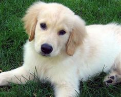 Looking For A Golden Retriever Puppy?
