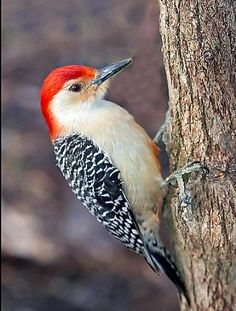 Red Bellied Woodpecker - male - one of the first birds I fell in love with.  When I first put up feeders right by my back door, it was winter and a female was one of my very first regulars.  That spring, when she mated, her offspring and her mate were also regulars.