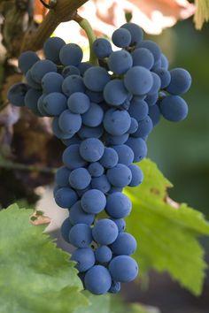 MENCIA ist eine Rotweinsorte, die in den autonomen Regionen Nordwestspaniens Galicien und Kastilien stark verbreitet ist und die im spanischen Rebsortenspiegel den 9. Rang mit knapp 11.330 Hektar Rebfläche belegt. Fruit And Veg, Fruits And Vegetables, Fruit For Diabetics, Wine Vine, Grape Plant, Wine Varietals, Different Wines, Vides, Types Of Wine