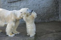 Polar bears shows affections to their mothers very similar to how humans would. Usual gestures includes hugging but more close knitted relationships between the mother and offspring would permit kisses.