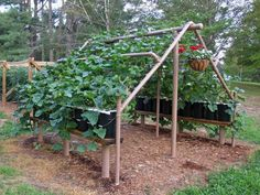 An excellent garden idea for growing vegetables. PVC pipe structure with potted plants (squash or cucumbers) growing on it. You can walk under to pick. Nothing on the ground to get buggy or fungus, and you control your soil. Brilliant!