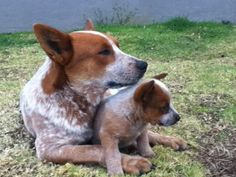 Momma and baby red heelers - precious www.AsianSkincare.Rocks