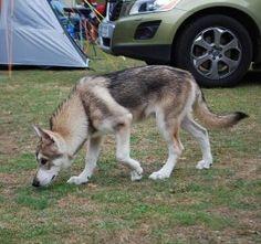 A Utonagan dog. Many of the dogs look more like an Alaskan Malamute.