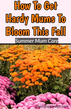Summer Mum Care - How To Get Your Mums To Bloom Big This Fall! When it comes to getting hardy, bed-p Fall Plants, Garden Plants, House Plants, Design Thinking, How To Make Mums, Fall Mums, Autumn Fall, Hardy Mums, Compost Mulch