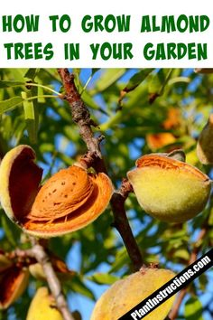 How to Grow Almonds is part of Fruit trees backyard - But can you actually grow almond trees in your own backyard The answer is absolutely yes! Keep reading to find out how to grow almonds in your garden! Fruit Tree Garden, Veg Garden, Fruit Plants, Garden Trees, Edible Garden, Vegetable Gardening, Container Gardening, Fruit Fruit, Growing Fruit Trees