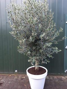 Olijfboom in pot Olea Europaea Florida - goedkopeolijfbomen. Florida, The Florida