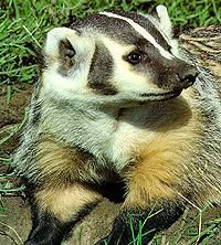 Badgers are determined fighters when they are threatened.  They have loose fitting skin, which prevents them from being held securely by another animal.http://www.badger.org/americanbadger.html