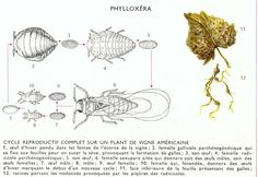 filoxera - Pesquisa Google