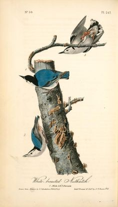 White-breasted Nuthatch | John James Audubon