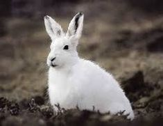 These striking creatures can be found in Arctic regions of Alaska, Canada and Greenland. In the winter months, the Arctic hare's coat turns white, Artic Animals, Funny Animals, Cute Animals, Wildlife Photography, Animal Photography, Arctic Hare, Arctic Tundra, White Rabbits, Arctic Circle