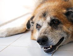 Canine Myasthenia Gravis - A Neuromuscular Disease in Dogs