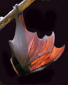 Malayan flying fox....looks like a fall leaf
