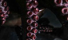 Desde el primero de enero y hasta el 30 de junio entra en veda el pulpo. Lo que quiere decir que la caza venta compra y consumo de este animal está prohibida en todo el territorio nacional.  Durante el mes de diciembre ocurre el mayor desove de pulpo. Las crías consiguen gran cantidad de alimento durante el primer semestre del año ya que en este periodo ocurre el afloramiento o surgencia que es un fenómeno que remueve el fondo marino y deja al alcance de las larvas de pulpo diversos…