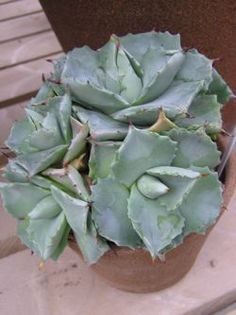 Agave potatorum 'Shoji-Raijin' is a dwarf succulent that forms beautiful, compact rosettes of fleshy, dusty-blue leaves. The mature plants produce offsets to form a small clump. Succulent Arrangements, Cacti And Succulents, Planting Succulents, Cactus Plants, Garden Plants, Planting Flowers, House Plants, Air Plants, Indoor Plants