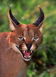 CARACAL--Be afraid, be very afraid!