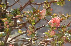 cerisier en fleurs !