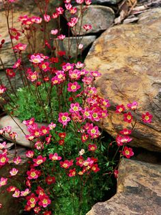 Saxifraga is an easy-to-grow perennial, crevice-dweller that grows naturally in mountain regions; here, its cheerful pink blooms complement the warm tones of the surrounding boulders.