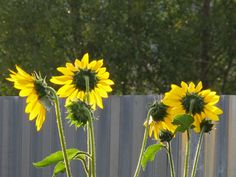garden #haiku: sunflowers nod/ heads tracking day's progress/ hummingbirds chatter