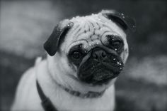 Black and white pug