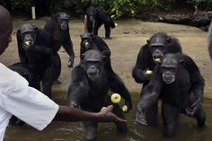 Breaking news: The HSUS, New York Blood Center announce landmark agreement for care of Liberian chimpanzees / http://blog.humanesociety.org/wayne/2017/05/breaking-news-hsus-new-york-blood-center-announce-landmark-agreement-care-liberian-chimpanzees.html?credit=em_053017