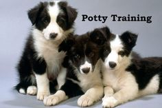 Border Collie. How To Potty Train A Border Collie. Border Collie House Training Tips. Housebreaking Border Collie Puppies Fast & Easy. Share this Pin with anyone needing to potty train a Border Collie Puppy. Click on this link to watch our FREE world-famous video at ModernPuppies.com