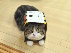Maru the crazy box cat!  Can't stop watching him on YouTube