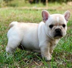 french bulldogs  gray   French Bulldog Puppies