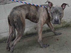 Manhattan center PIPPIN – A1083539  MALE, BR BRINDLE, AM PIT BULL TER MIX, 2 yrs STRAY – STRAY WAIT, NO HOLD Reason STRAY Intake condition EXAM REQ Intake Date 07/31/2016, From NY 10034, DueOut Date 08/03/2016,