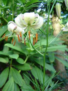 Lilium cernuum is a species of lily native to Korea, the Primorye region of Russia, and northeastern China (Provinces of Jilin + Liaoning)