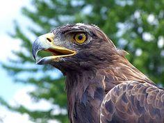 Raptors Birds of Prey | ... also had a beautiful bird of prey on hand to greetthe tourists