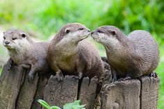 Otters Go In for a Kiss