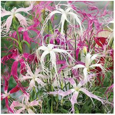 Ghost Dianthus