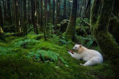 【画像】シロクマと見紛う驚きの白さ。カナダの森に住む精霊熊、シロアメリカグマ 写真9枚