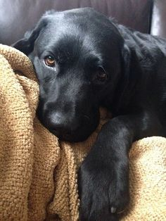 20 Things All Labrador Owners Must Never Forget. The Last Things All Labrador Owners Must Never Forget. The Last One Brought Me To Tears… Everything we respect about the Labrador Dog - Black Labs Dogs, Black Lab Puppies, Cute Puppies, Cute Dogs, Corgi Puppies, Funny Dogs, Husky Corgi, Black Puppy, Awesome Dogs