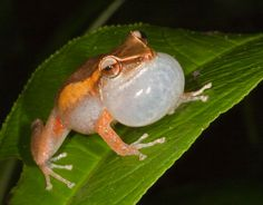 "A   male, white-eyed coqui ""singing"" to attract a female,    El Yunque Rainforest, Puerto Rico."