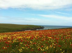 Poppy field at Crantock Cornwall