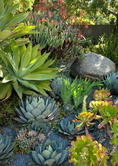 Succulent garden – no-water landscape. Plants include Fan aloe, Aeonium and Agave shawii