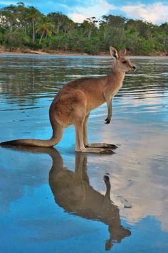Cape Hillsborough Kangaroo on the beach