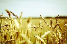 I grew up among fields like these ......